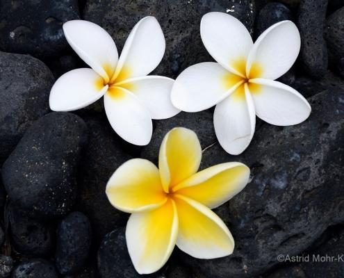 01 Hawaii 1 Plumeria