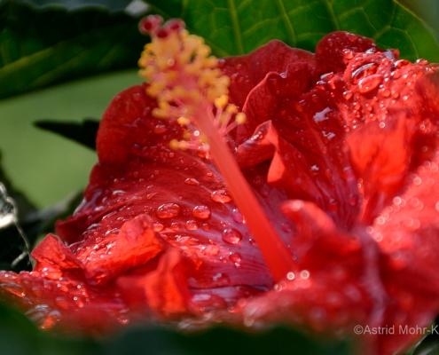 01 Hawaii 1 Hibiscus