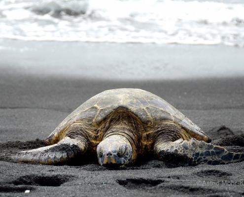 01 Hawaii 1 Turtle Asleep